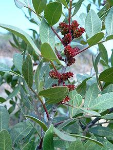 220px-pistacia_lentiscus