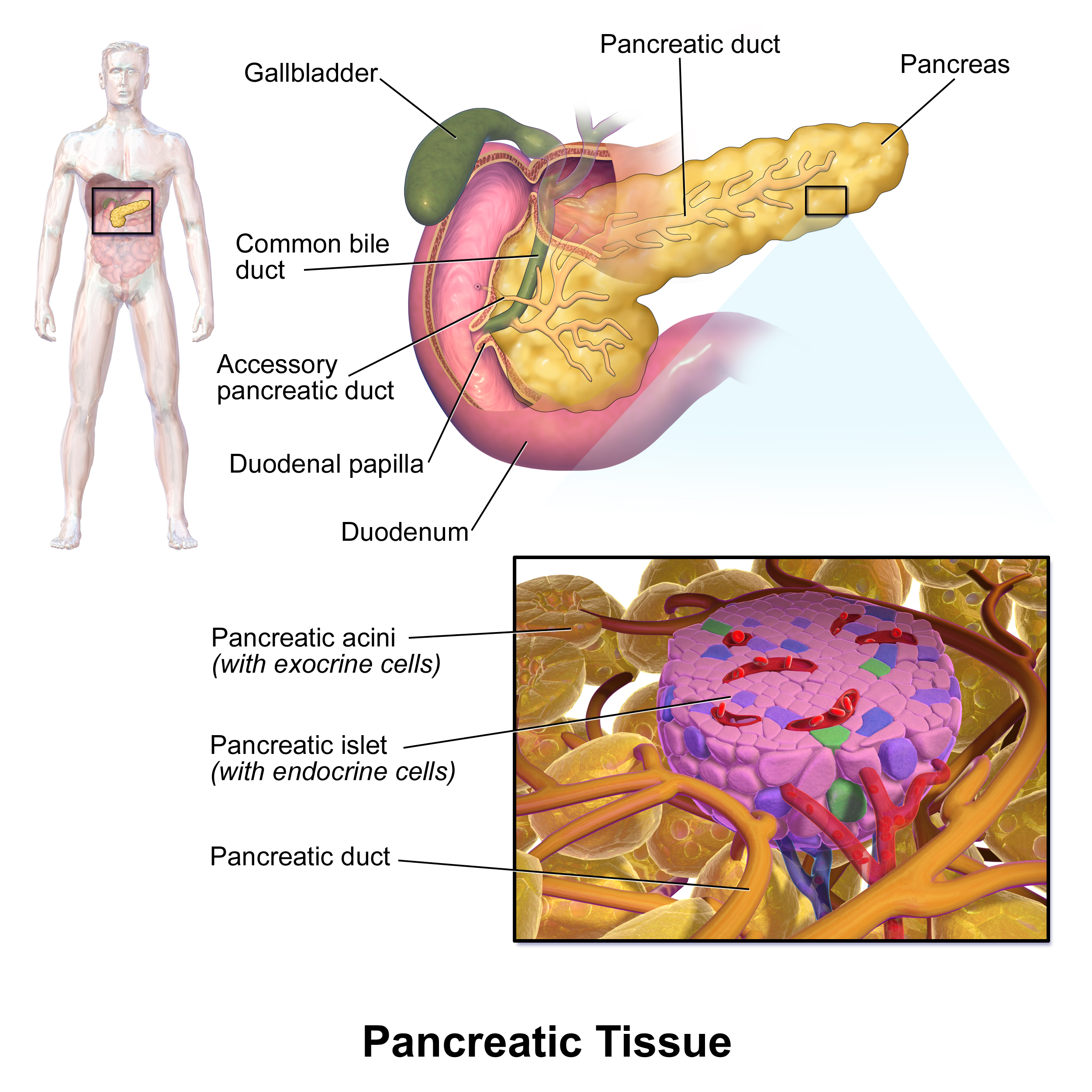 Gallbladder And Pancreatic Disease And Dysfunction An Overview