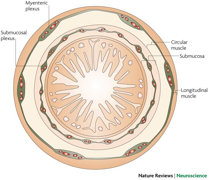 propionate liver