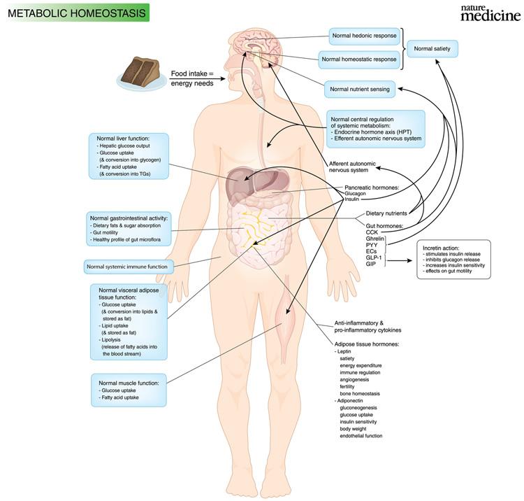 Metabolic Syndrome Homeostasis Illustrated